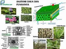 Belajar Anatomi Daun Dan Fungsinya Bagi Pertumbuhan Tanaman