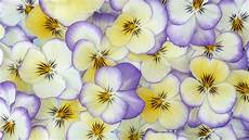 flower wallpaper for background 26 beautiful hd pansy flower wallpapers