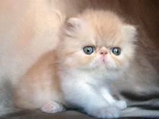 foto gatti persiani cuccioli 641 best cats and kittens images on kawaii cat