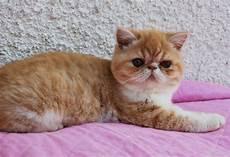 gatti persiani allevamento shirin gatti persiani ed esotici