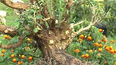 buchsbaum entwicklung zum bonsai teil 1 boxwood
