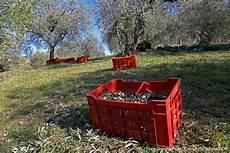 cassette per olive la raccolta delle olive in sabina foto gallery sabina dop