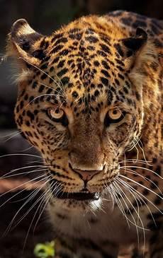 face of a jaguar up jaguar animal majestic