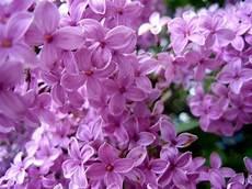 fiori lilla nomi fiori lill 224 fiori delle piante