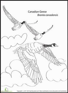 migrating animals coloring pages 17086 canadian geese worksheet education