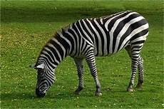 zebra bild zebra im zoo neuwied foto bild tiere neuwieder zoo