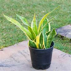 feng shui pflanzen reichtum top 6 feng shui lucky plants for indoors indian