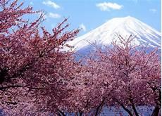 nomi fiori giapponesi hanami la fioritura in aprile dei fiori di ciliegio in