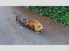 Rednose Bull Terrier fighting Staffie Cecilia   YouTube
