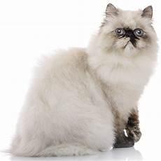 himalayan cats himalayan cat breed information temperament health