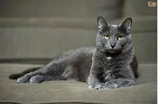 korat cat breed facts highlights buying advice