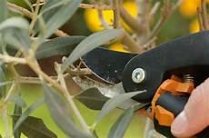 olivenbaum schneiden in 7 schritten zum richtigen