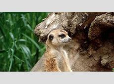 On Guard Animal Meerkat   Animals Blog