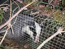 waschbär fangen köder fangjagd 2008 2009seite 20 und hund