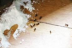Ameisenplage Was Tun Die Besten Hausmittel Gegen