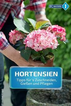 hortensien schneiden gartentipps f 252 r hortensien