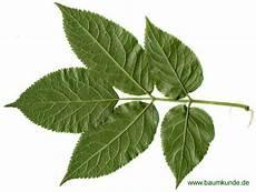 Trauben Holunder Sambucus Racemosa Blatt
