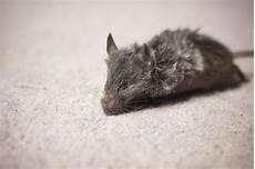 tappeto mouse topo morto su tappeto fotografia stock immagine di