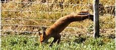 une martre peut tuer un chat renard et chat 233 viter les intrusions dans un poulailler
