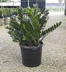 Zz Plant Care Growing Zamioculcas Zamiifolia How To Guide