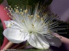 fiori di mirto fiore di mirto forum natura mediterraneo forum