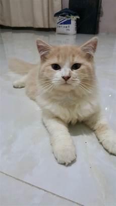 Kucing Anggora Hitam Putih 81021 Nama Untuk
