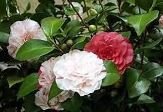 fiori di bacco dama di bacco la camelia toscana verso i 150 anni dell