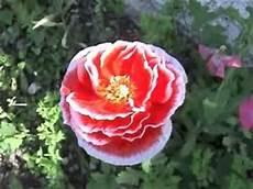 Gr 226 Ce 20110911 La Plus Fleur Du Jardin