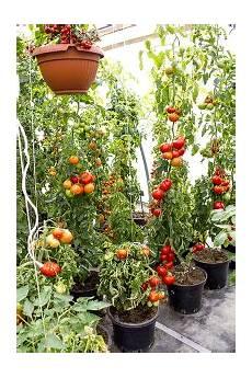 was ist der ideale standort f 252 r tomatenpflanzen tomaten