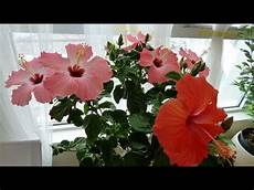 Tips On Hibiscus House Plant Care Placing Watering