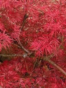 201 rable du japon dissectum atropurpureum acer palmatum