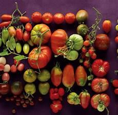 ist tomate eine frucht kulturgeschichte die tomate rote frucht mit