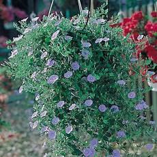 convolvulus sabatius blaue mauritius g 228 rtnerei