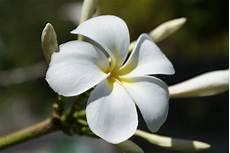 fiore frangipane fiore frangipane viaggi vacanze e turismo turisti