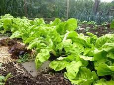 culture des blettes cultiver facilement un potager semez des blettes