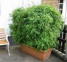 bambus als k bambuspflanzen als sichtschutz