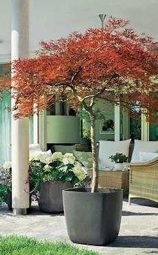 Pflanzkübel Modern Bepflanzen - winterharte geh 246 lze f 252 r die k 252 belbepflanzung garten