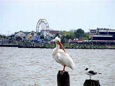 Seagull Apartments Ks by Kemah Tx White Pelican Looking At Seagull With Kemah
