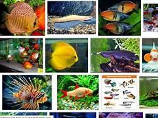 Koleksi Baru 29 Gambar Ikan Hias Unik