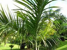 palmen für zuhause top thema palmen urlaubsflair f 252 r zuhause teil 3