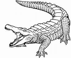 alligator drawing at getdrawings free