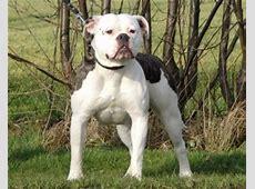 Amerikaanse bulldog   Rassen   Honden & Hondenrassen