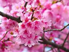 Flower Wallpaper Photo by Wallpapers Cherry Flowers Wallpapers
