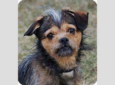 Champ   Adopted Dog   Mora, MN   Border Terrier/Yorkie