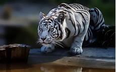 White Tiger Image