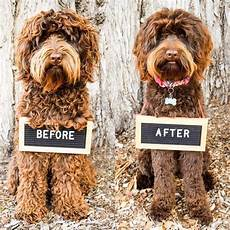 goldendoodle haircut my favorite dog doodle and dog grooming doing it yourself vs going to a professional goldendoodle haircuts cockapoo