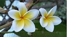 fiore frangipane frangipane pianta e cure idee green