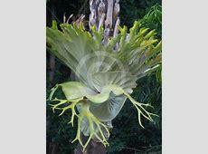 Platycerium superbum   Staghorn Fern information & photos