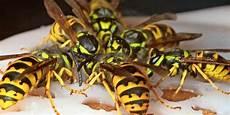Wespen Vertreiben Hausmittel - wespen mit einfachen hausmitteln vertreiben