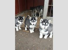 Husky hund in Schweiz, Husky welpen kaufen & verkaufen
